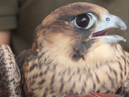Un halcón a punto de ser liberado.