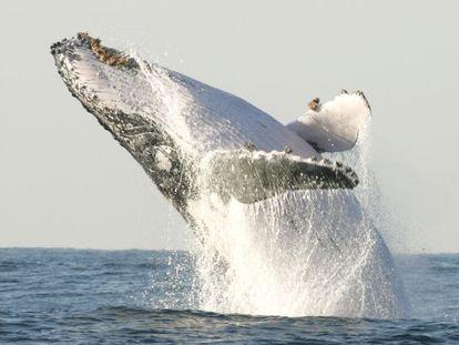 Una ballena jorobada salta en la costa sur de Sudáfrica.