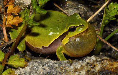 La ranita de San Antón, llamada 'Hyla Molleri'. Los anfibios son unas de las familias más vulnerables frente al cambio climático.