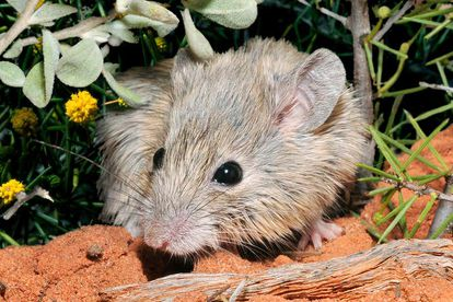 Un ejemplar de ratón de Gould, especie redescubierta en más de un siglo después de que se creyera extinguida.
