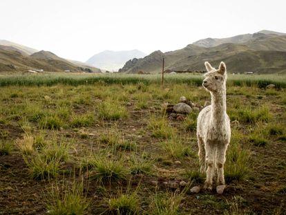Una alpaca pastando en Puno (Perú), a más de 4.200 metros de altura. Este es uno de los animales exóticos que se pueden adquirir en Holanda.