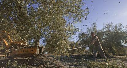 Jornaleros varean un olivar en Piñar (Granada).