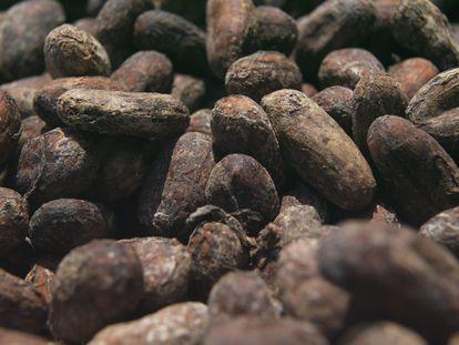 Primero se seleccionan los granos de cacao.