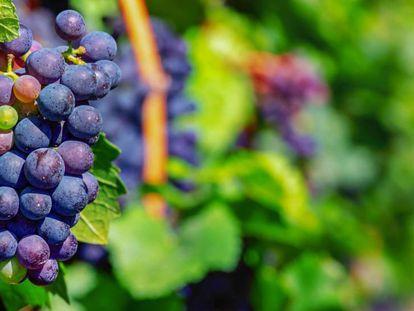 La cosecha de 2019 ha sido excelente en la Rioja Alavesa.