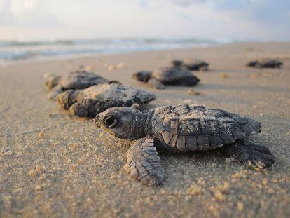 Las crías de las tortugas tienden a comer más plástico que las adultas.
