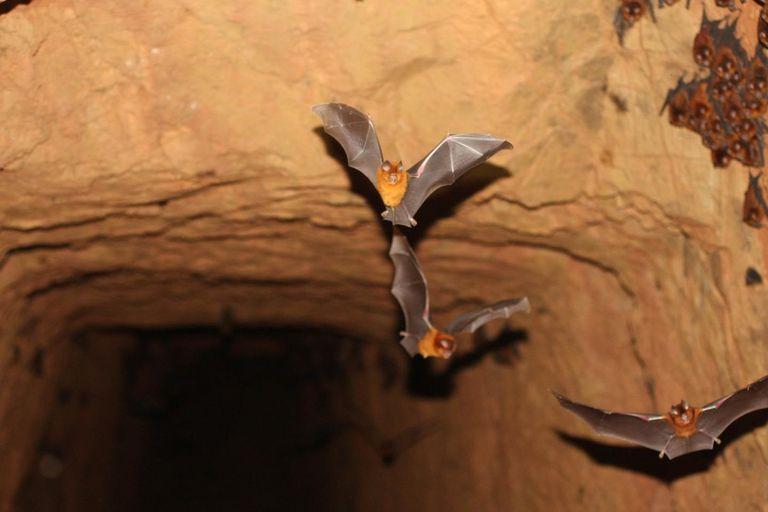 Nuevas especies de murciélagos relacionadas con los sospechosos de ser el origen del coronavirus.