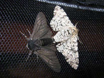 La mariposa de los abedules era solo moteada hasta la Revolución Industrial.