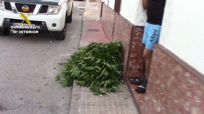 Un vecino entrega las plantas de marihuana que cultivaba en su casa de Puerto Serrano (Cádiz)