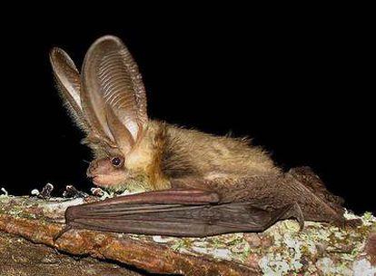 Murciélago de la especie <i>Plecotus austriacus</i>, fotografiado por los investigadores del grupo Drosera en un bosque de O Morrazo.