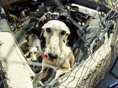 Perros en la perrera de la asociación Las nieves, albergue para galgos abandonados, en Navalcarnero, en Madrid.
