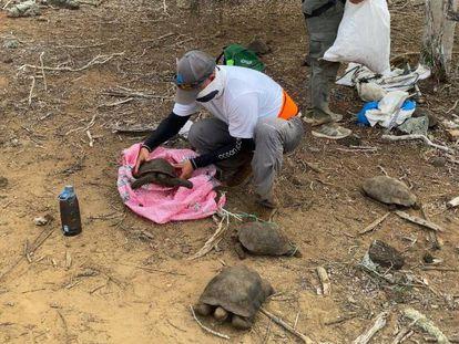 Unos técnicos liberan a las tortugas nacidas en cautividad en San Cristóbal (Galápagos).