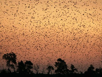 Hay especies de quirópteros que se acercan a las farolas a cazar, mientras otras huyen de la luz. En la iamgen, murciélagos de la fruta volando en el Parque Nacional de Kasanka (Zambia).