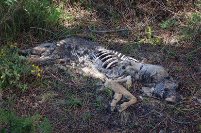 Lobo muerto de forma violenta que fue localizado por Vox Anima en Boiro.