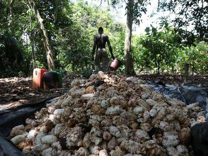 Granos de cacao recolectados en Azaguie (Costa de Marfil).