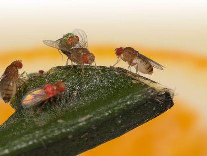 Dos moscas miran a una tercera copular con un macho verde mientras ignoran a un macho rosado.