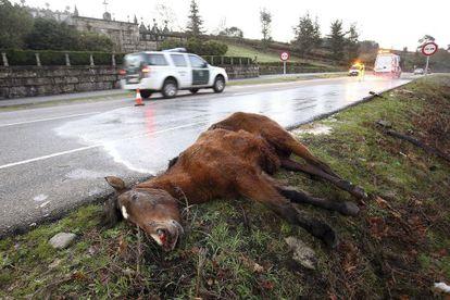 Un equino muerto en la carretera, tras haber sido atropellado por un conductor, que resultó herido grave, el año pasado en Vigo.