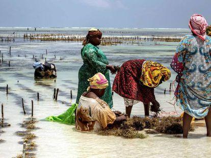 Un grupo de mujeres recoge un cultivo de algas a orillas del océano Índico en Bjwejuu, en la isla tanzana de Zanzíbar.