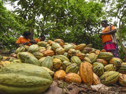 Trabajadoras del cacao manipulando vainas en una cooperativa de Costa de Marfil, uno de los grandes productores mundiales.