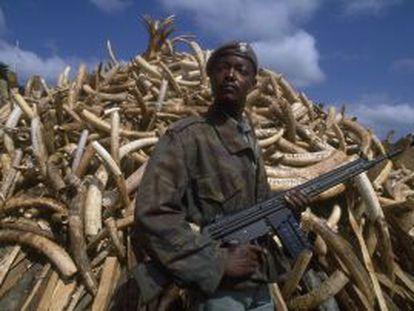 Miles de colmillos de elefante, confiscados en Zambia.