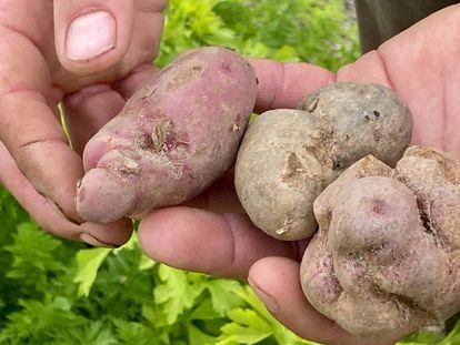 Patatas feas. J. C. CAPEL