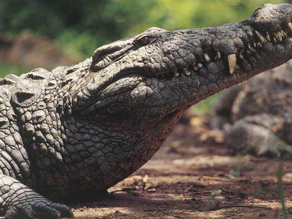 Un cocodrilo en Zimbabue, en una imagen de archivo.