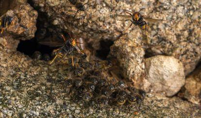 Avispas asiáticas atacan una colmena de abejas en A Coruña.