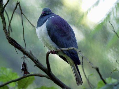 Un ejemplar de kereru o paloma maorí.