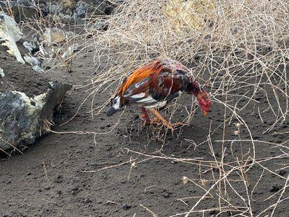 Un gallo de pelea con heridas.