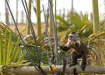 El mono capuchino, única especie de primate representada en el parque Senda Viva, come frutos como mangos, fresas y uvas.