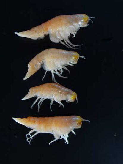 'Hirondellea gigas', uno de los crustáceos analizados, que vive en la fosa de las Marianas, entre los 6.000 y los 11.000 metros.