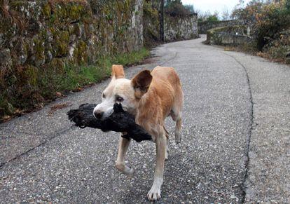 'Jacki' porta un pequeño animal en la resaca del gran fuego que asoló Fragoselo (Vigo) y Chandebrito (Nigrán).
