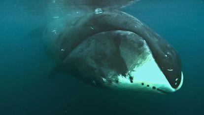 A pesar de tener 1.000 veces más células que un humano, la ballena boreal no presenta una mayor incidencia de cáncer. Loke Film y Adam Schmedes/Cell Reports 2015