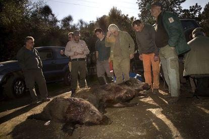 Tres jabalíes cazados en 2011 en Collserola en una batida autorizada.