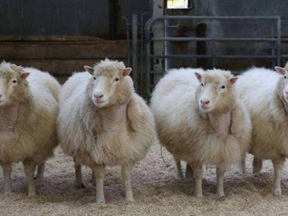 Cuatro clones de raza Finn Dorset de ocho años de edad, procedentes de la misma línea celular de la que nació Dolly.