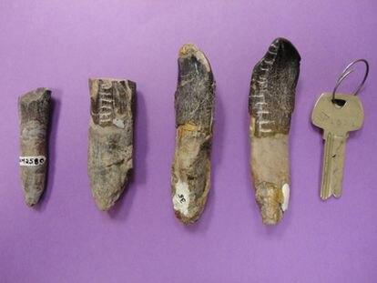 Dientes de dinosaurios del Dinosaur National Monument  (Utah) que se han analizado para descubrir qué y dónde comían y bebían estos animales, con una llave como indicador de tamaños.