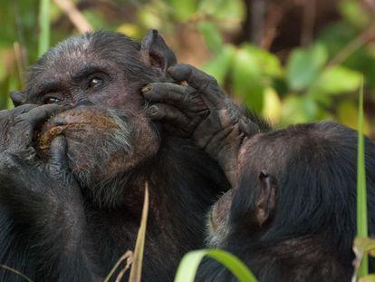 Dos chimpancés se proporcionan cuidados.