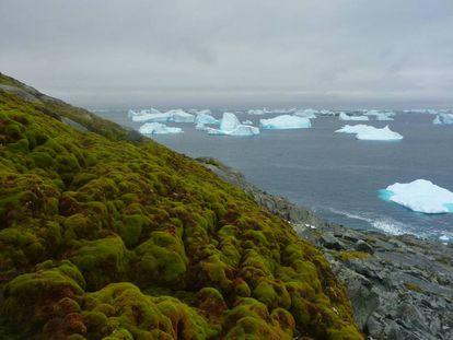 Banco de musgo en una ladera de Green Island, en el extremo de la península antártica.