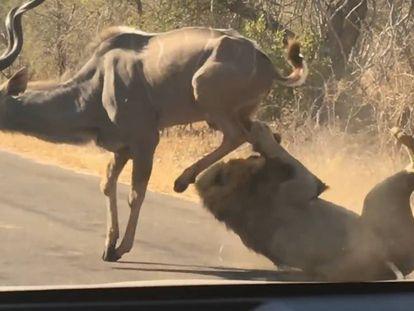 El león atacando al antílope en el Parque Nacional Kruger de Sudáfrica.