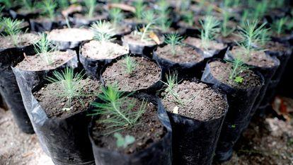 Pinos que serán usados para reforestar una zona de amortiguamiento de un bosque en Tegucigalpa (Honduras).
