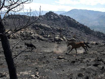 Dos caballos galopan sobre la tierra abrasada por el mayor fuego de este verano en Entrimo.