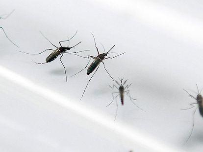 El mosquito que provoca el virus del zika PATRICE COPPEE AFP