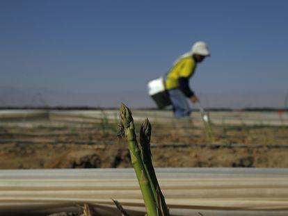 Un agricultor trabaja en un campo de espárragos al sur de la ciudad de Ica, en Perú.