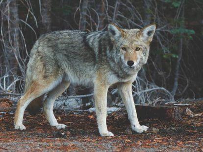 Los coyotes son algunos de los animales que han adoptado la monogamia por sus beneficios