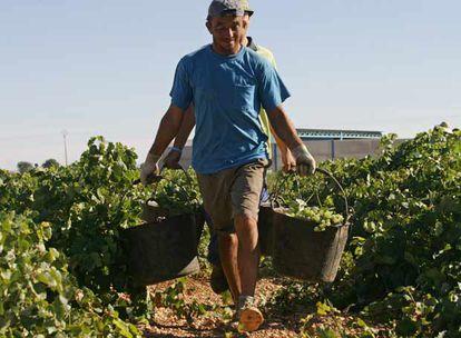 Jornaleros rumanos cargan cestos repletos de uvas en una plantación de Llanos del Caudillo.