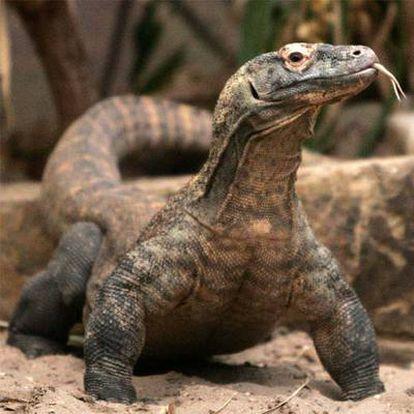 Flora, una de las hembras de dragón de Komodo que se ha reproducido por partenogénesis.