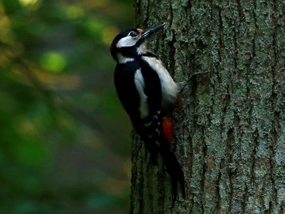 Un pájaro carpintero.