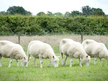 Los cuatro clones de 'Dolly'.