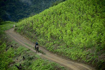 Un campo de hoja de coca en Colombia, donde según la estimación de la Casa Blanca hay 212.000 hectáreas destinadas a ese cultivo.