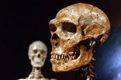 Reconstrucción de un esqueleto de un neandertal junto a un humano moderno