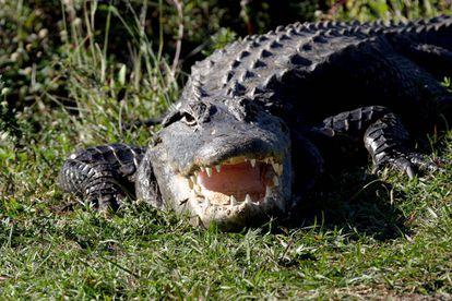 Foto de archivo de un caimán en el Parque Nacional de Everglades de Florida, EE UU.